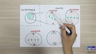 Биология 6 Клеточное деление. Митоз и мейоз. Биология 6 Жасушаның бөлінуі. Митоз және мейоз.