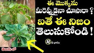 ఈ మొక్కను మీరెప్పుడైన చూసారా ? ఐతే ఈ నిజం తెలుసుకోండి || WOW ! Amazing Benefits of Acalypha indica