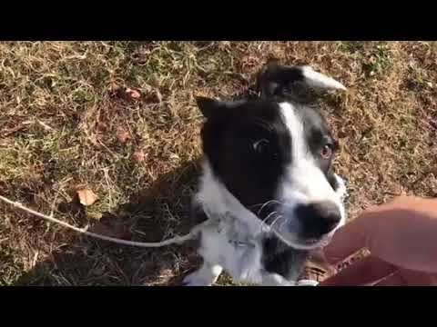 Stockdog Basics: Teaching Recall