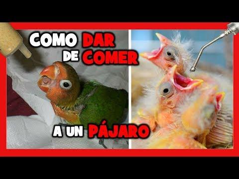 HOW TO WALK A CANARY AND JILGUERO | HOW TO CREATE A BIRD'S HAND |