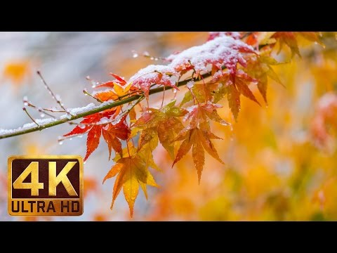 2 Hours - 4K Relaxation Video with Rain Sounds | Last Days Of Fall | Japanese Maple Tree - Part 3