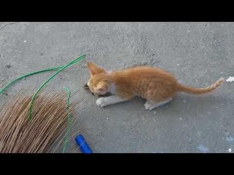 Filipino Kitten is The Ultimate Hunter