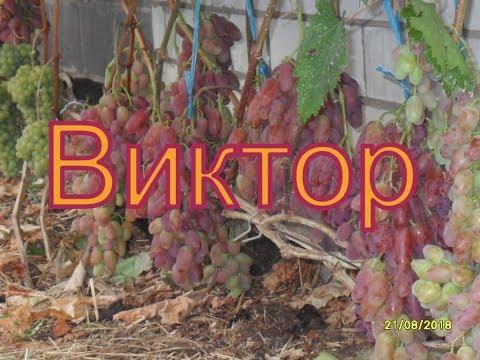 Виноград Беларуси . Лидчина .  Сорт винограда -Виктор .