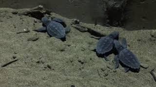 Нашествие черепах на пляж Алании