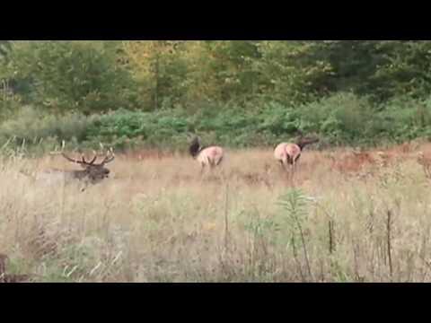 Elk In Northern Wisconsin