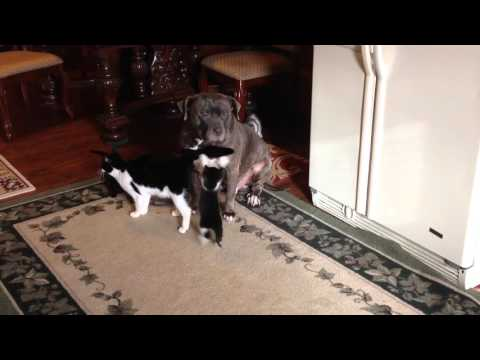 100lb plus blue pit bull & a protective mother cat
