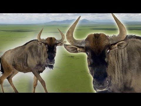 Epic journey for survival: Wildebeest Migration - Earth Files (Ep 1) - Earth Unplugged