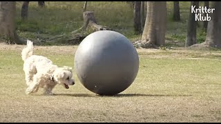 Dog Shows A Perfect Ball Control Skill Like The Best Footballer Lionel Messi | Kritter Klub