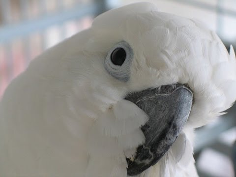 Funny Parrot (Katelynn the Talking Umbrella Cockatoo)
