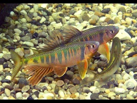 Japanischer Drachenfisch