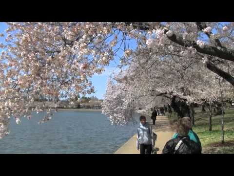 "Cherry Blossoms - ""A Walk Around the Tidal Basin"" - April 6, 2011, Rupert Chappelle"
