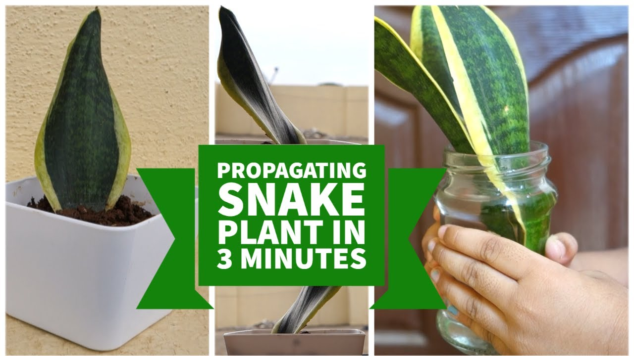 How to Propagate Snake Plant by Leaf Cuttings in Water ...