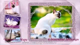 Меконгский бобтейл КУПИТЬ, котята январь 2017