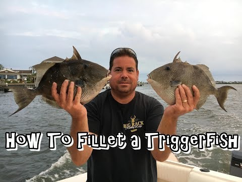 How To Fillet A Triggerfish THE EASY WAY!!