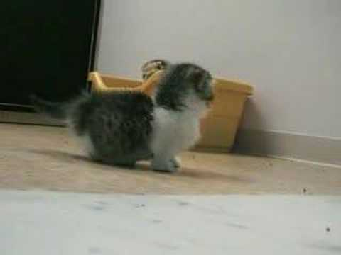 Thumbnail for Cat Video Scottish Fold Munchkin Kitten