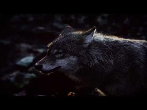 Fulgurum - Ostatni Wilk