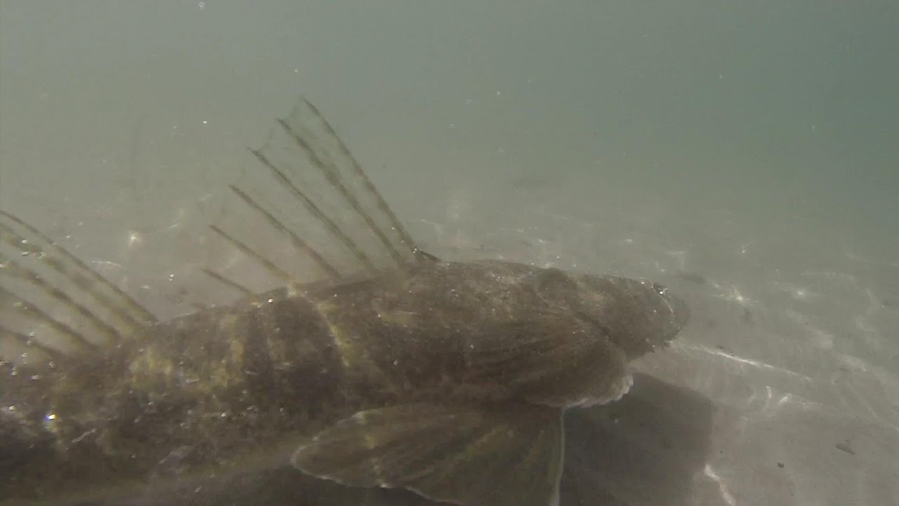Flathead fishing ecooda live shrimp youtube for Fishing with live shrimp