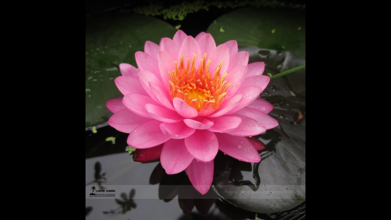 Lotusblumen züchten 😂Lottii - YouTube