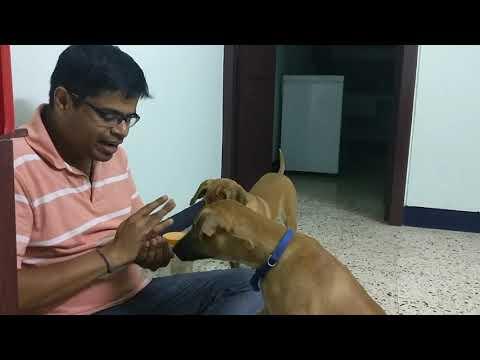 Kombai stars Neriyan & kurumbi video-15(how to train a command to puppies)