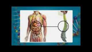Спинной мозг - функции и строение