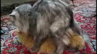 Persian Cat Mating 2 !!!