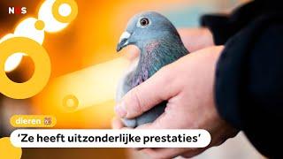 Dit is de duurste duif ooit (1,6 miljoen euro!)
