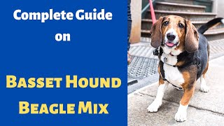Interesting Facts about The Basset Hound Beagle Mix| Should you get one?