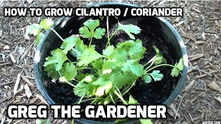 HOW TO GROW CILANTRO / CORIANDER - Greg The Gardener