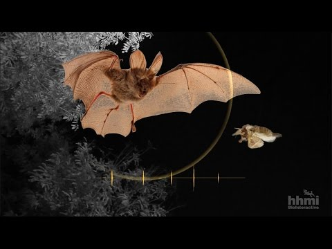 Moth Mimicry: Using Ultrasound To Avoid Bats | HHMI BioInteractive Video