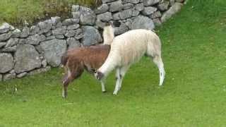 Gros câlins de lamas au Machu Picchu, Pérou - Big cuddles of llamas at the Machu Picchu - Peru