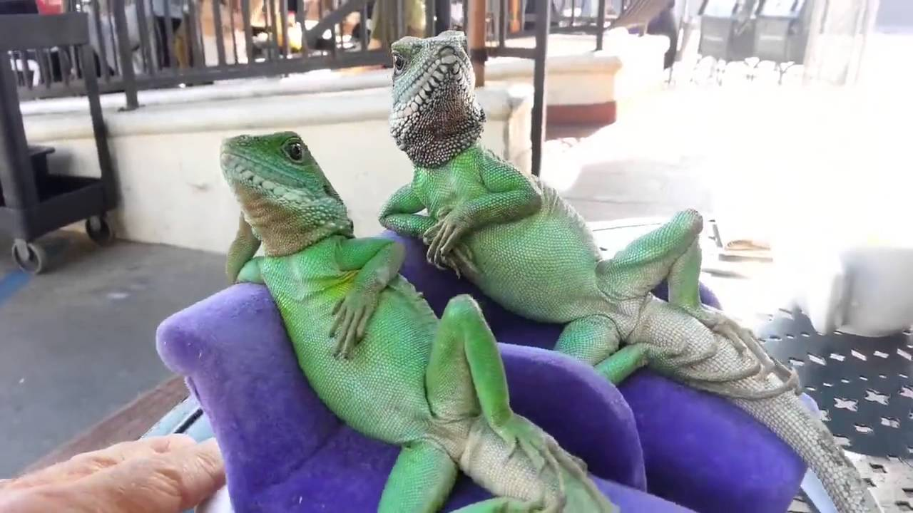 An Amazing Romantic Couple Of Lizards Are Chillin On Sofa