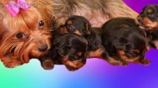 Эклампсия у собак | Симптомы | Лечение | Профилактика.