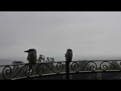 30 Minutes of Kookaburras watching a storm