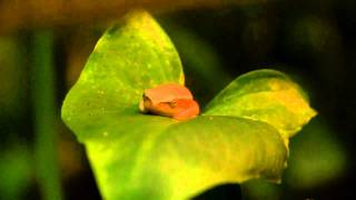 Arum lily frog, Two Oceans Aquarium, Cape Town, South Africa