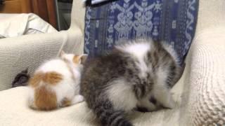 子猫に威嚇される猫