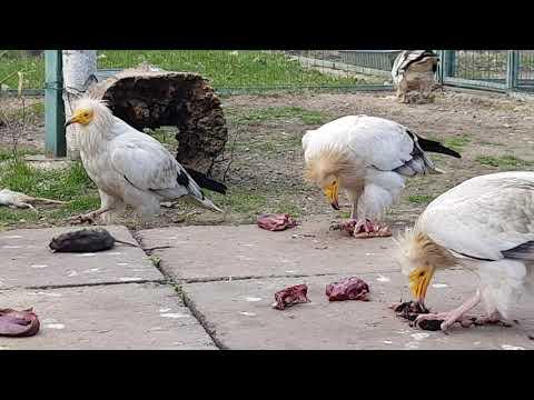 Eating Eastern Egyptian vultures