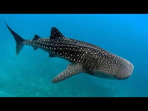 Tiburón ballena, el tiburòn mas grande del pacìfico