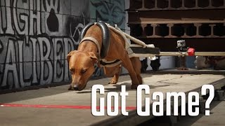 Working American Pit Bull Terriers