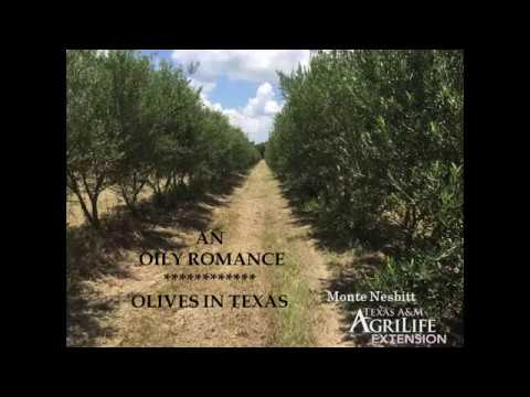 Olives in Texas - An Oily Romance