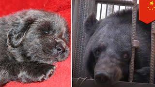 中国雲南省で一家がチベット犬だと思い2年間飼っていたペットが、実は野...