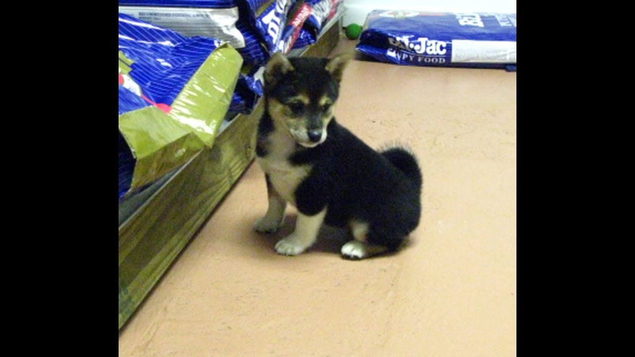 Shiba Inu Puppies For Sale In Dover Delaware De Long Neck