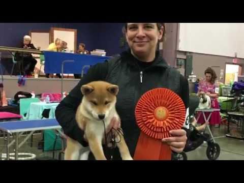 Sunojo's Trinity, Shiba Inu, Best Baby Puppy In Show,  Port Alberni, Saturday October 17, 2015