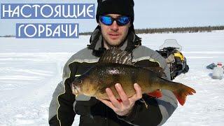 Настоящие горбачи! Ice fishing big perch. DF 27