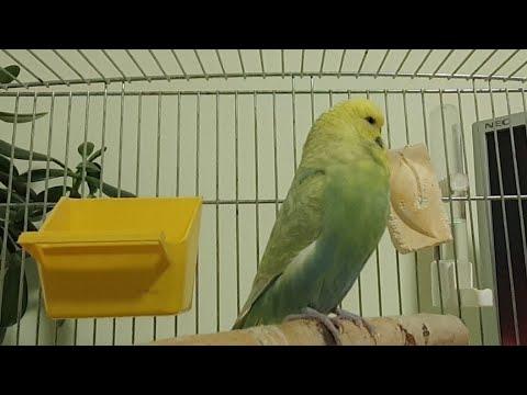 Вопрос: Под крылом у попугая нету перьев, что это может значить?
