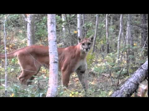 Mountain Lion encounter in Montana