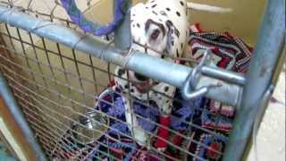 Dalmatian Whining And Crying