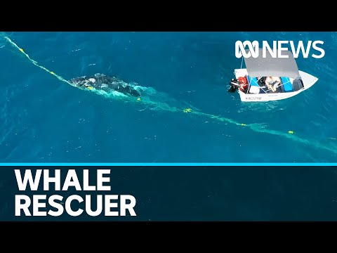 Humpback Whale Off Gold Coast Beach Freed From Shark Nets By Man In Tinny | ABC News
