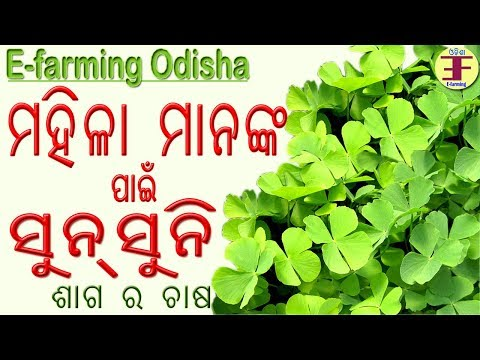 Sunsuni Sago Farming in Odisha  || ସୁନ୍ ସୁନି ଶାଗ ଚାଷ |