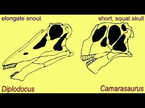 PL2: SAUROPODS: COMPARISON OF Diplodocus & Camarasaurus SKULLS