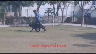 Multi Country Champion Vulkan von Bistua Nuova (Rottweiler Movie by Ryder Kennel)